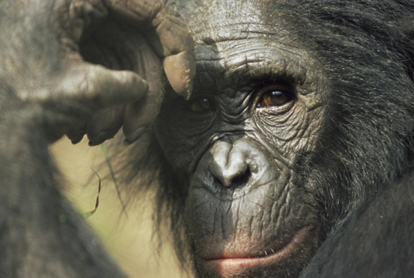 What Great Apes Teach Us About Emotions, Morality, and Civilization